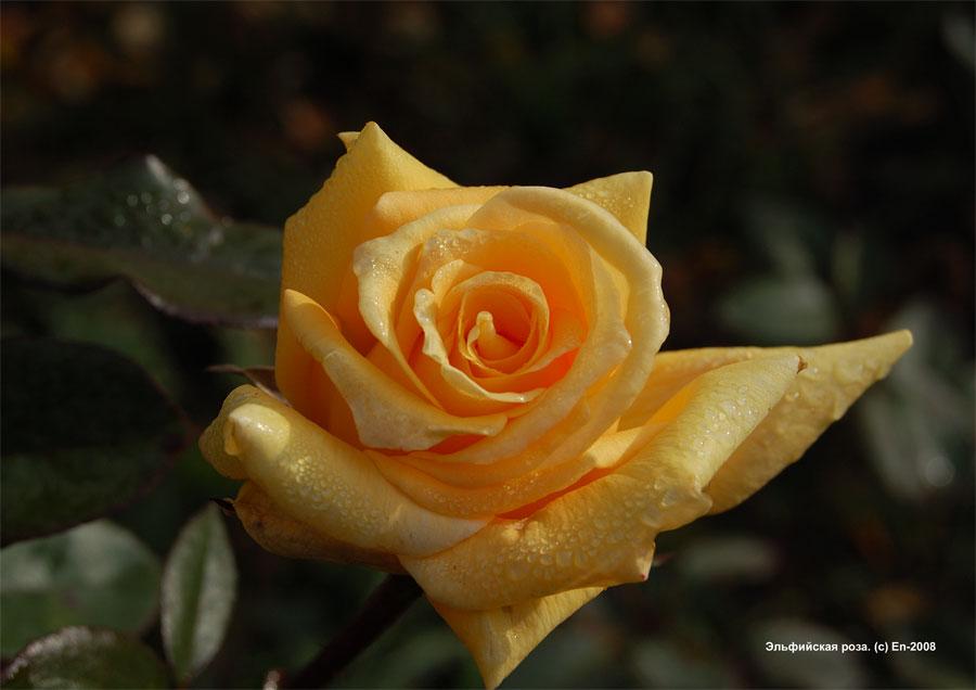 Эльфийская роза