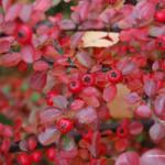 Красные ягоды #2