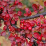 Красные ягоды #4