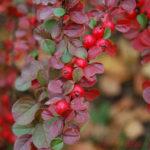 Красные ягоды #5